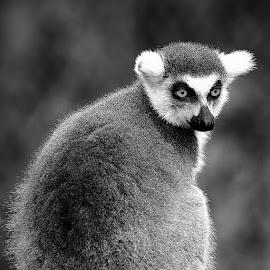 Le regard du Catta by Gérard CHATENET - Black & White Animals