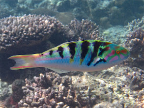Photo: six-barred wrasse