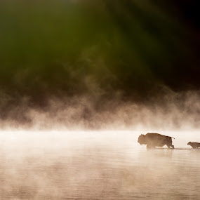 The Crossing by Luke Collins - Animals Other Mammals ( hayden valley, buffalo, yellowstone, national park, bison, june, wyoming, yellowstone national park )