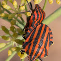 Italian Striped Shield Bug