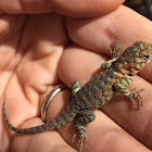 (Young) Granite Spiny lizard