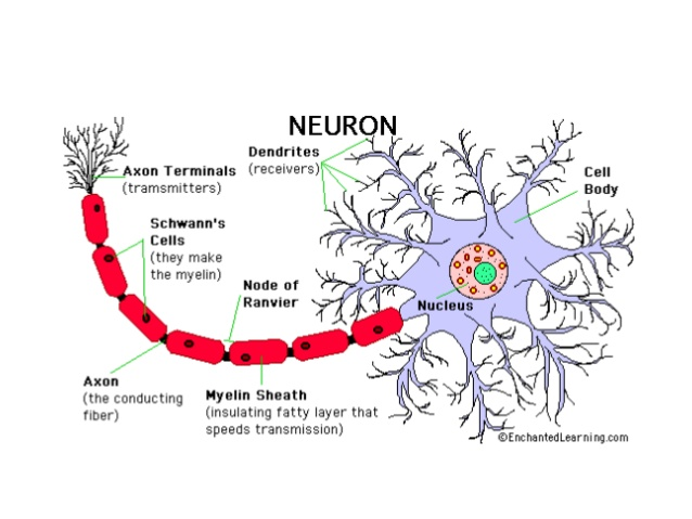 neuron dendrites diagram.jpg