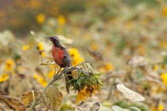 Photo: Long-tailed Meadowlark (Langschwanzstärling); Valle Cachaquí, ARG