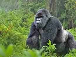 Gorilla   Species   WWF