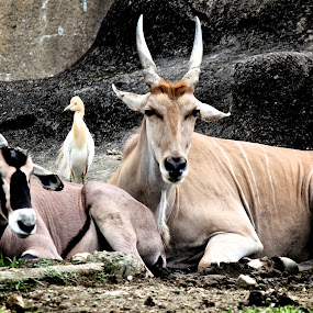 A Bird Resting With Two Common Elands by Kai Jian - Animals Other