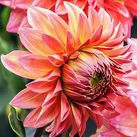 Dahlia. by Thomas Thain - Flowers Single Flower