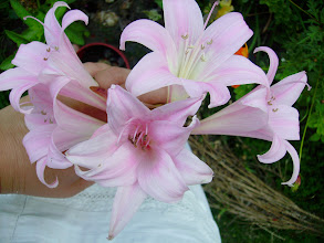 Photo: Amaryllis belladonna