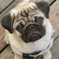 Pugs Dog Wallpapers apk