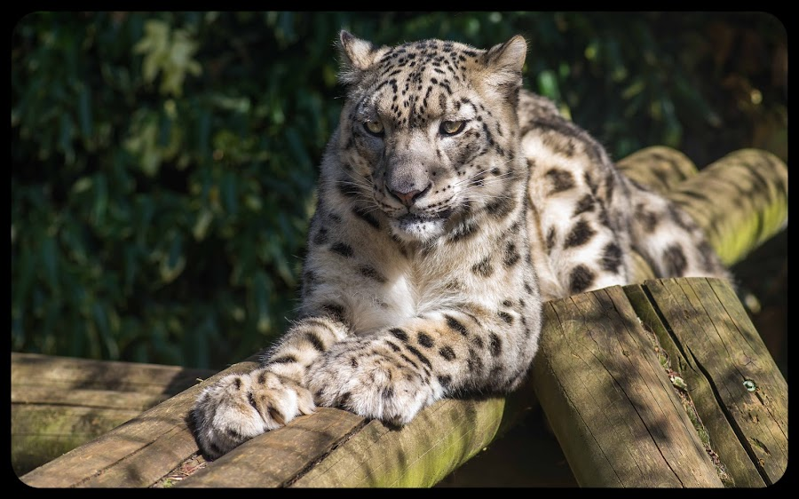 Snow Leopard in Paradise by Alan Westbrook - Animals Lions, Tigers & Big Cats ( paradise wildlife park )
