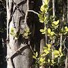 Beech mistletoe