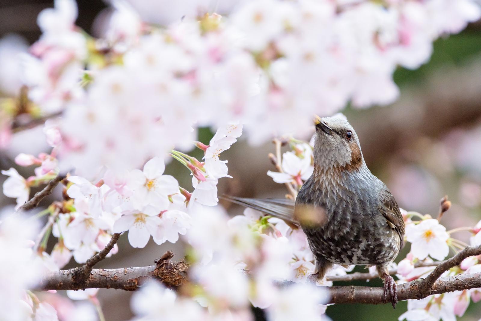 Photo: 「嬉しさ」 / Delight.  君が嬉しいと 僕も嬉しくて 君の楽しそうな表情が 僕の表情に笑顔をくれる  Brown-eared Bulbul. (ヒヨドリ)  Nikon D7200 SIGMA 150-600mm F5-6.3 DG OS HSM Contemporary  #birdphotography #birds #kawaii #小鳥 #nikon #sigma #小鳥グラファー  ( http://takafumiooshio.com/archives/1311 )
