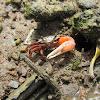 Bengal Fiddler Crab