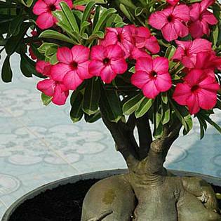eo-desert-rose-adenium-pink.jpg