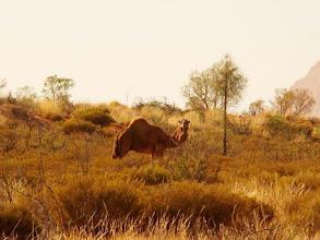 Photo: AUSTRALIE-Dromadaire dans l'Outback