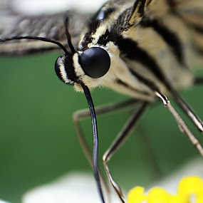 Black Eye by Yunita Halim - Animals Insects & Spiders