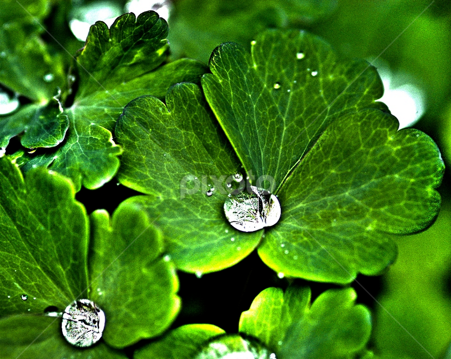 Drops on green by Gabriella Pascaru Bisi - Nature Up Close Flowers - 2011-2013 ( hdr, nature, green, drops, plants, flowers )