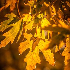 Backlit by Jennifer  Loper  - Nature Up Close Leaves & Grasses ( sunlight, leaves, oak, yellow, backlit )