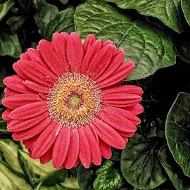 OLI gerber 10 by Michael Moore - Flowers Single Flower (  )