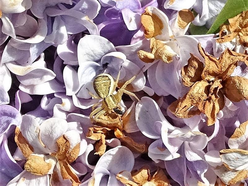 2019-05-19 LüchowSss Garten Braune od. Busch- Krabbenspinne (Xysticus cristatus) im Flieder (Syriacus vulgaris)