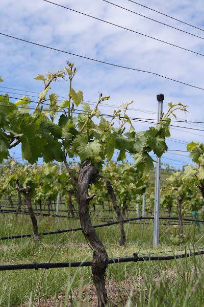 Photo: Here's Week 6. A severe bout of man-flu meant that week five's pic didn't happen. The vines have grown rather a lot over the last two weeks.