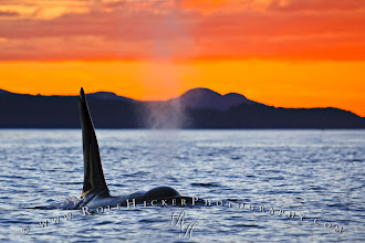 Photo: Orca Whale at sunset off Vancouver Island, British Columbia, Canada.  For more Orca whale (killer whale) photos please check out my website: http://www.rolfhickerphotography.com/pictures/orca-whale-photos.htm