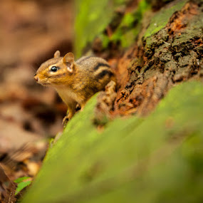 Curious Chipmunk by Jay Huron - Animals Other Mammals ( chipmunk, moss, forest, dead tree,  )