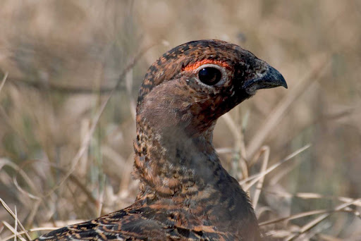A native bird that resembles a pheasant in Cape St. Mary's Ecological Reserve, Newfoundland.