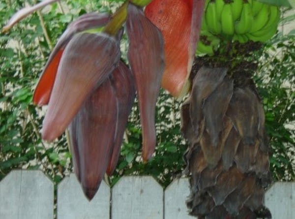 When the flower bud dries up and the bananas start to grow, the bud...