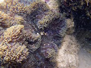 Photo: Periclimenes brevicarpalis (Anemone Shrimp), Miniloc Island Resort reef, Palawan, Philippines.