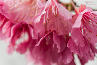 Photo: Showers of Pink Japanese Cherry Blossoms