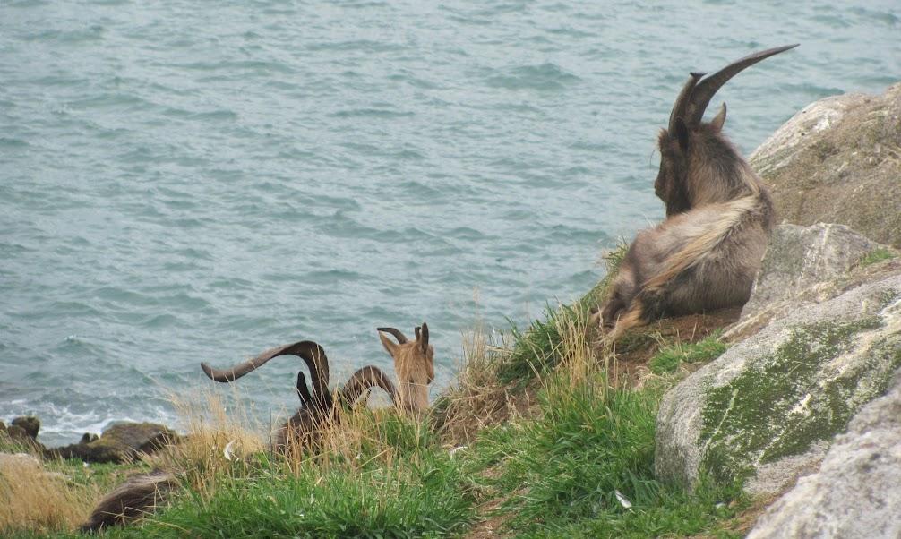 Dalkey Island Goats