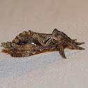 Moth - Tricladia tupi