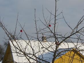 Photo: Merkinės obelys jau nuo rudens pasipuošusios Kalėdoms, tik vienos mažiau,