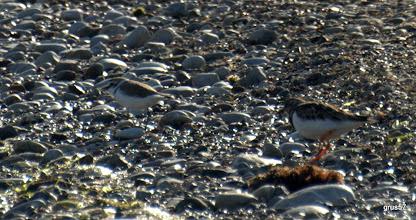 Photo: Морской зуек (Charadrius alexandrinus) и Камнешарка, Turnstone, (Arenaria interpres), Миссолонги
