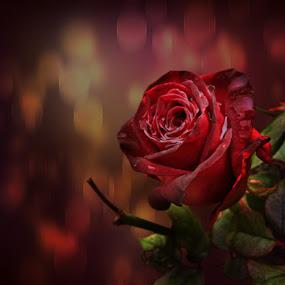 red rose by Svetla Ivanova - Digital Art Things ( red, red rose, rose, red flower, flower )