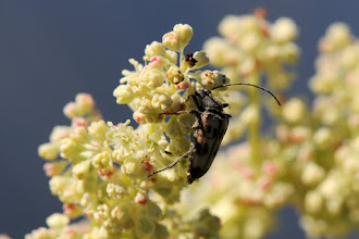 Photo: Beetle on wild rhubarb flower, at Pikes Waterfront Lodge, Fairbanks