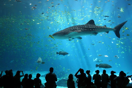 Whale Sharks Wallpaper Images