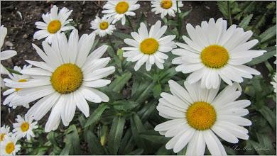 Photo: Margarete de gradina (Leucanthemum.... ) - din Turda, de pe Calea Victoriei, spatiu verde la bloc - 2018.06.18