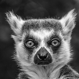 Lemur by Garry Chisholm - Black & White Animals ( nature, ring tail, dudley, garrychisholm, primate, lemur )