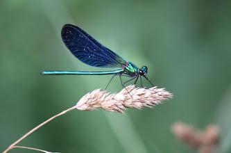 Photo: Calopteryx virgo