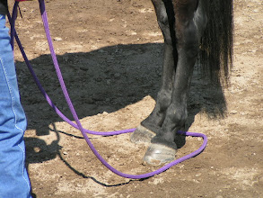 Photo: Now, how do you get the loop around the horse's foot? Position the rope with the loop, over the rump, and create some slack to rest on the ground behind the horse.