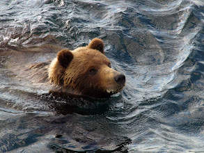 Photo: Brown Bear Swims by the Boat June 2010