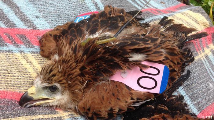 Некоторые из птиц, которые были маркированы и оснащены передатчиками для исследовательских целей в Великобритании, исчезли во время локдауна, как и этот красный коршун