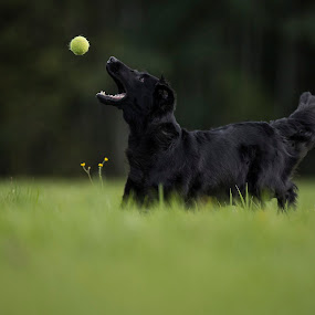 Alma by Ronnie Bergström - Animals - Dogs Playing ( sweden, ball, dogs, tree, grass, green, catch, landscape, dog, animal )