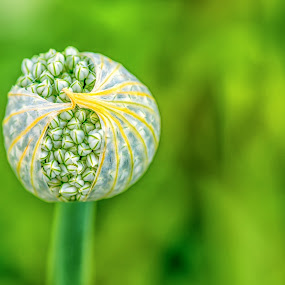 Allmost by Nitescu Gabriel - Flowers Flower Buds ( europe, green, beautiful, white, romania, euro, european, nature, nature up close, flowers, natural, flower, onion,  )