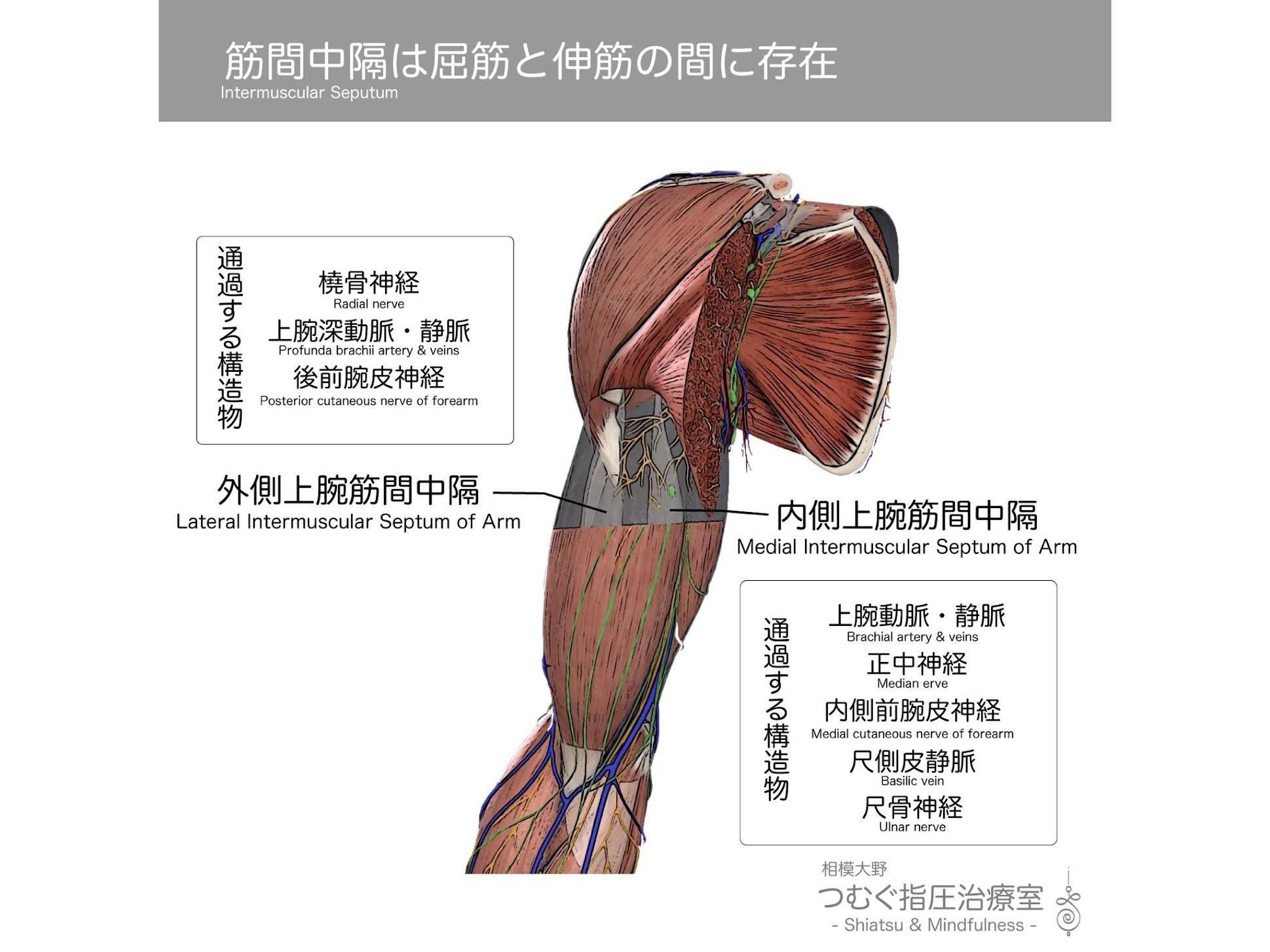 筋間中隔は上腕屈筋群(上腕二頭筋・上腕筋)と上腕伸筋群(上腕三頭筋)の間に存在します。上肢や下肢では屈筋や伸筋といった協同で働く筋群が筋膜のコンパートメント(区画)により仕切られています。筋膜(Fascia)は密性結合組織でできた上部な膜です。筋の張力は腱により直接骨に作用する他、筋膜により骨以外の軟部組織も物理的エネルギーを伝えることができます。
