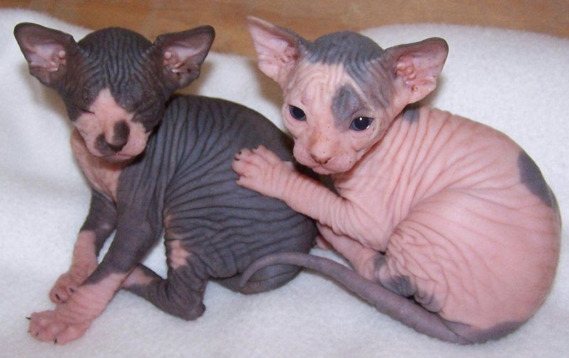 Sphynx cat price range. Hairless cat cost. Where to buy Sphynx kittens?