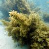 Sargazo / Sargassum Seaweed
