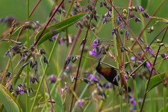 Photo: Male copper sunbird; Macho de beija-flor-cúpreo.