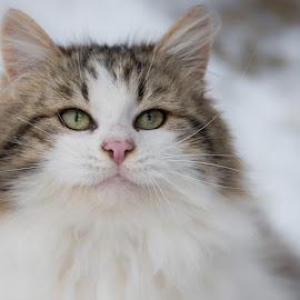 by Joško Šimic - Animals - Cats Portraits (  )